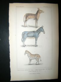 Cuvier C1835 Antique Hand Col Print. Qwagga (Extinct), Dzigguetai, Zebra, 52
